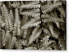 Silvery Ferns Acrylic Print by Dave Gordon