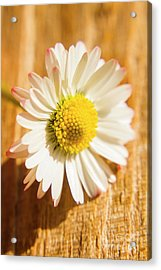 Simple Camomile  In Sunlight Acrylic Print