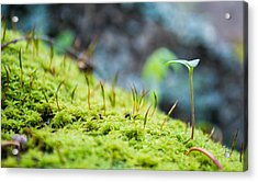 Simple Sprout Acrylic Print by Rhys Arithson