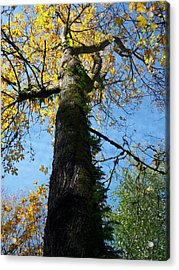 Simply Yellow Acrylic Print by Ken Day