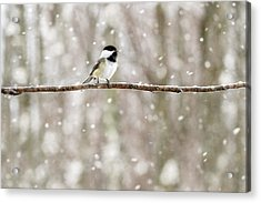 Sing Chickadee Sing Acrylic Print by Angie Rea