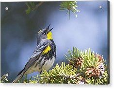Singing Audubon's Warbler Acrylic Print