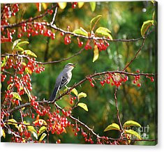 Acrylic Print featuring the photograph Singing For His Supper - Northern Mockingbird In The Berries by Kerri Farley