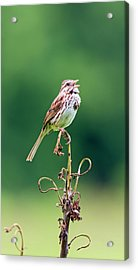 Singing Song Sparrow Acrylic Print by Jennifer Nelson