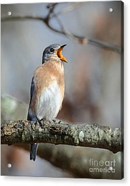 Singing This Song For You Acrylic Print by Amy Porter