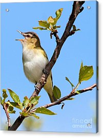 Acrylic Print featuring the photograph Singing Vireo by Debbie Stahre