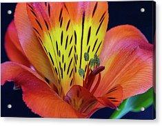 Single Alstroemeria Inca Flower-1 Acrylic Print