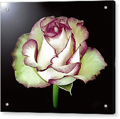 Single Beautiful Rose Acrylic Print