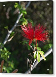 Single Fairy Duster Acrylic Print