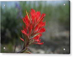 Single Indian Paintbrush Bloom Acrylic Print by Susan Pedrini