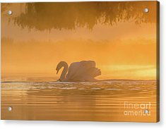 Acrylic Print featuring the photograph Single Mute Swan - Cygnus Olor - On Orange Golden Pond At Sunrise by Paul Farnfield