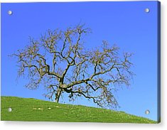 Acrylic Print featuring the photograph Single Oak Tree by Art Block Collections