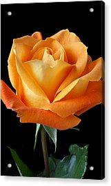 Single Orange Rose Acrylic Print by Garry Gay