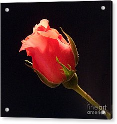 Single Pink Rose Bud Acrylic Print