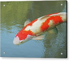 Acrylic Print featuring the photograph Single Red And White Koi by Gill Billington