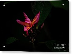 Single Red Plumeria Bloom Acrylic Print