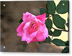 Single Red Rose Acrylic Print by Francesco Roncone