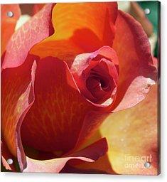 Single Rose Acrylic Print by Gwyn Newcombe