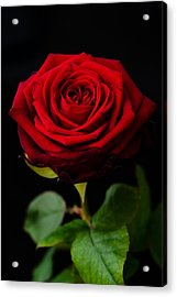 Single Rose Acrylic Print by Miguel Winterpacht