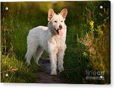 Single Small White Stray Dog In Meadow  Acrylic Print by Arletta Cwalina