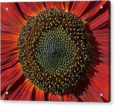 Single Sun Flower Acrylic Print