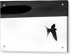 Single Swallow Flying Under Bridge Acrylic Print by Dan Friend
