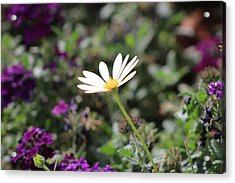 Single White Daisy On Purple Acrylic Print by Colleen Cornelius