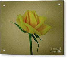 Single Yellow Rose Acrylic Print