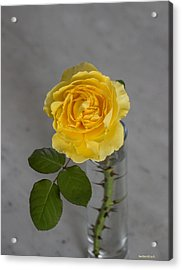 Single Yellow Rose With Thorns Acrylic Print