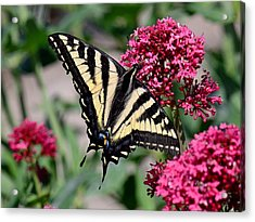 Sippin On Nectar - Swallowtail Acrylic Print