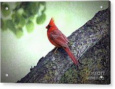 Sir Cardinal Acrylic Print