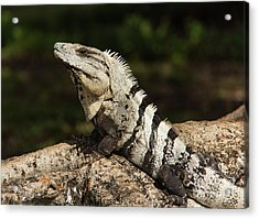 Sir Iguana Mexican Art By Kaylyn Franks Acrylic Print