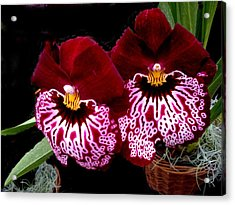 Sister Orchids Acrylic Print by Jeanette Oberholtzer