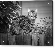 Sitting On The Fence Acrylic Print