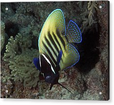 Six Banded Angelfish, Great Barrier Reef Acrylic Print