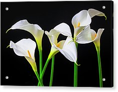 Six Calla Lilies Acrylic Print