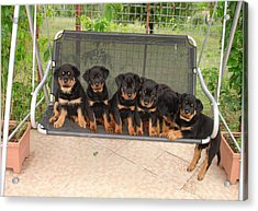 Six Rottweiler Puppies Lined Up On A Swing Acrylic Print by Tracey Harrington-Simpson