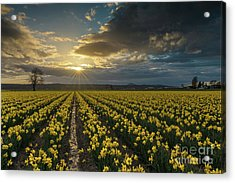 Acrylic Print featuring the photograph Skagit Daffodils Golden Sunstar Evening by Mike Reid