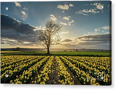 Acrylic Print featuring the photograph Skagit Daffodils Lone Tree  by Mike Reid