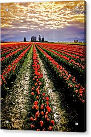 Skagit Tulips 2018 Acrylic Print