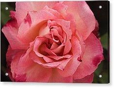 Skc 4942 The Pink Harmony Acrylic Print by Sunil Kapadia