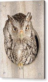 Skreech Owl Acrylic Print