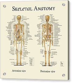Acrylic Print featuring the digital art Skeletal Anatomy by Gina Dsgn