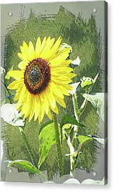 Sketchy Sunflower 1 Acrylic Print by Marty Koch