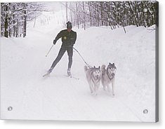 Skijoring In Maine. Model Released Acrylic Print by Bill Curtsinger