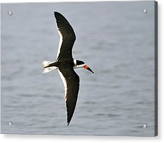 Skimmer In Flight Acrylic Print by Al Powell Photography USA