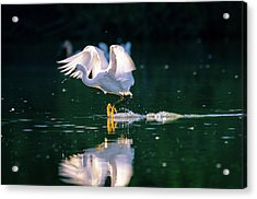 Skimming Acrylic Print by Emily Bristor