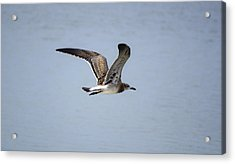 Skimming Seagull Acrylic Print by Kenneth Albin