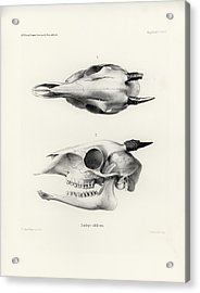 Acrylic Print featuring the drawing Skull Of A Bush Duiker, Sylvicapra Grimmia by J D L Franz Wagner