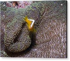 Skunk Clownfish Acrylic Print by Gary Hughes